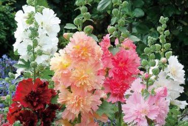 蜀葵(春庆,混色,单瓣,重瓣)