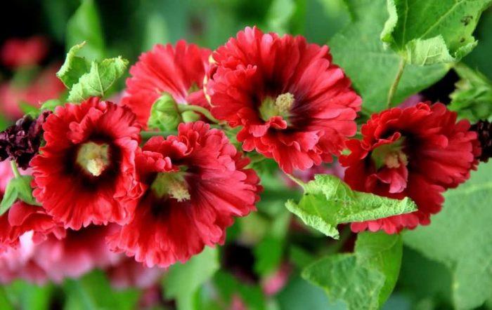 蜀葵花种子
