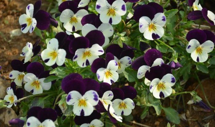 角堇花种子
