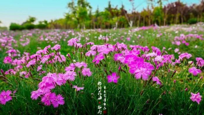 石竹花种子
