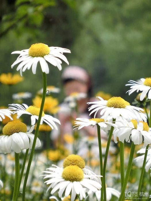白晶菊花卉种子