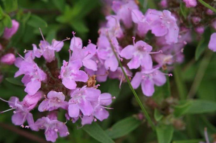 百里香花卉种子