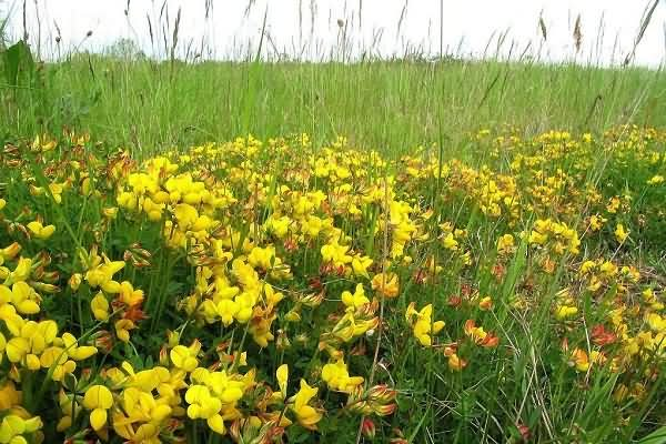 百脉根(黄金花)花卉种子