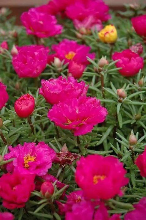 半支莲花卉种子