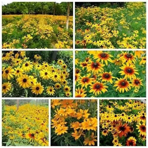 金光菊花卉种子