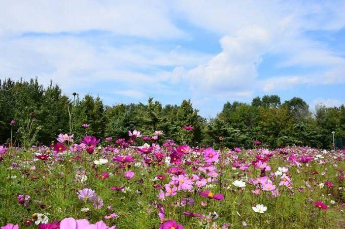 波斯菊花卉种子