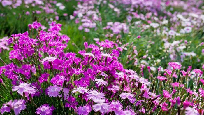 常夏石竹花卉种子