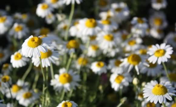 春白菊花卉种子