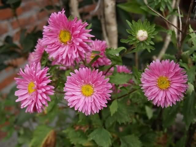 翠菊花卉种子
