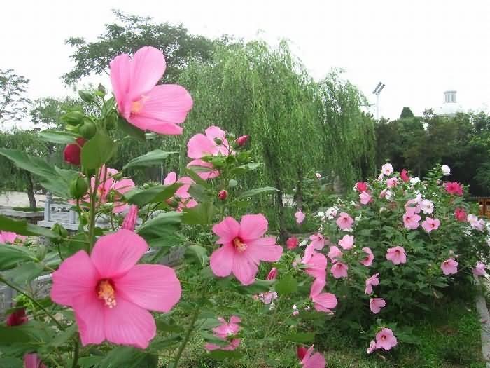 大花秋葵花卉种子