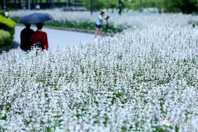 钓钟柳花卉种子