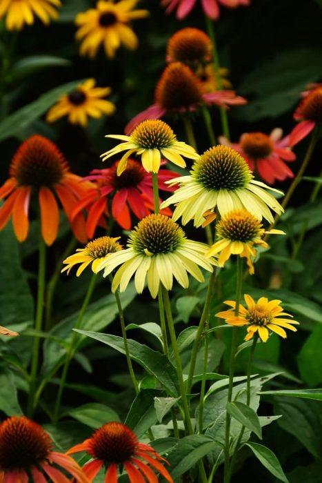 堆心菊花卉种子
