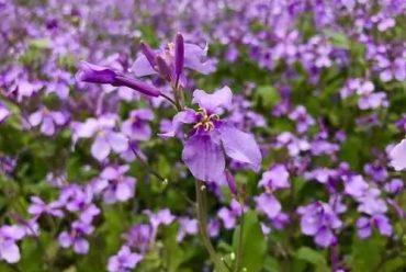 二月兰花卉种子
