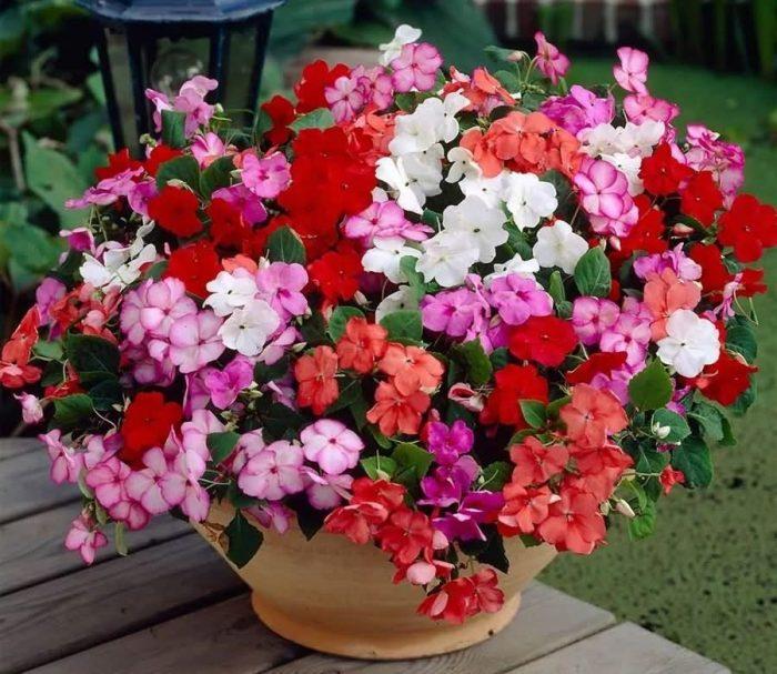 凤仙花花卉种子