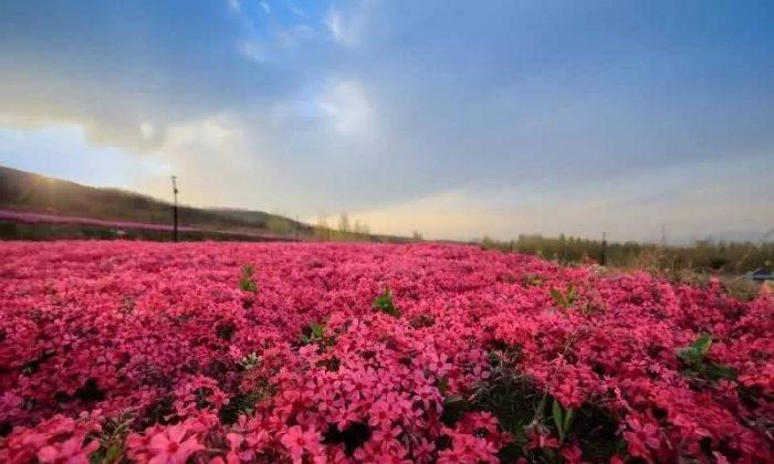 福禄考花卉种子