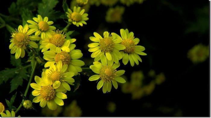 甘野菊花卉种子