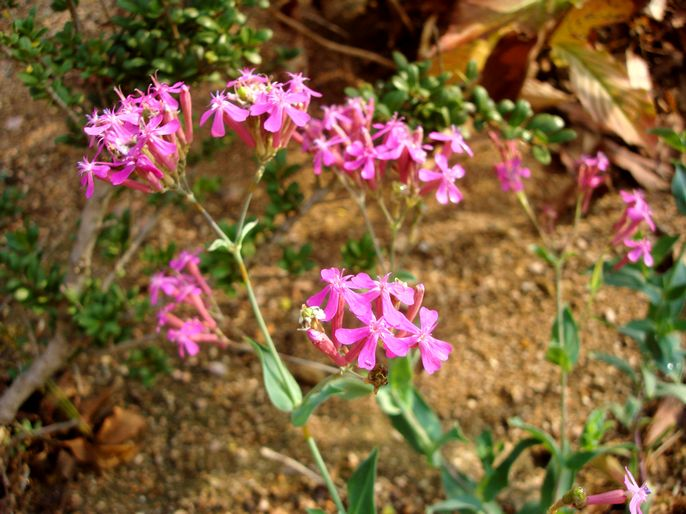 高雪轮花卉种子