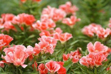 古代稀花卉种子