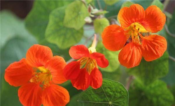 旱金莲花卉种子