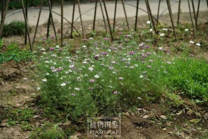 黑种草花卉种子