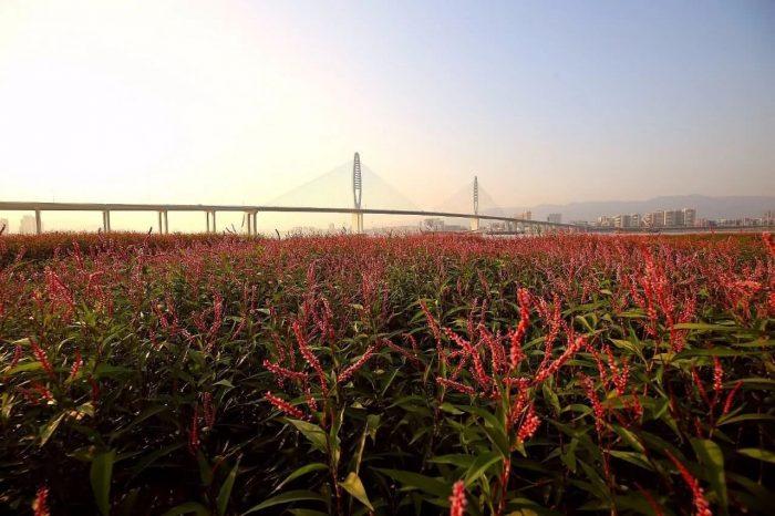 红蓼花卉种子