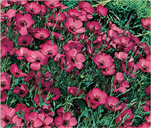 红亚麻花卉种子