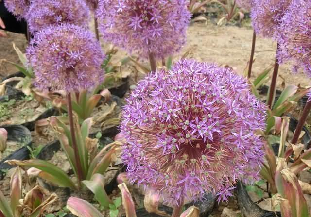 花葱花卉种子