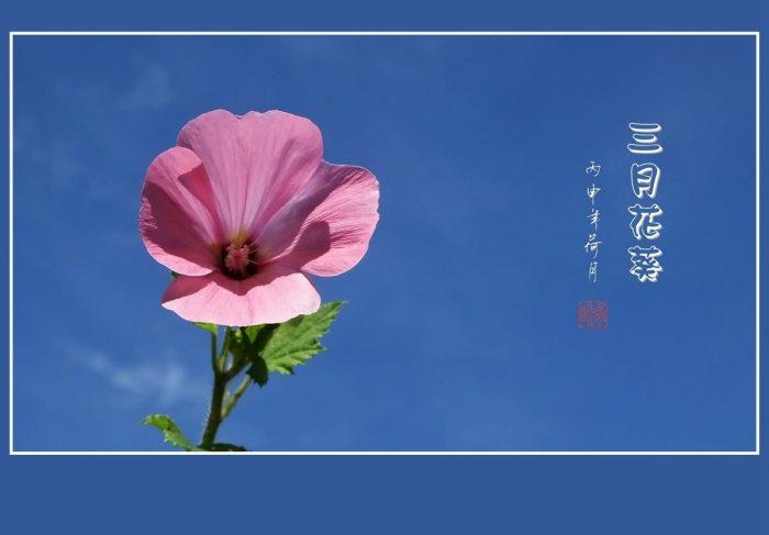 花葵花卉种子