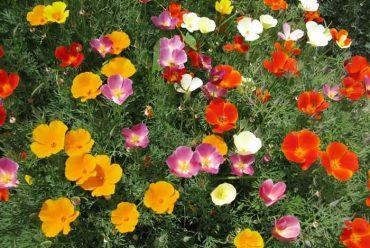 花菱草花卉种子