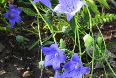 桔梗花卉种子