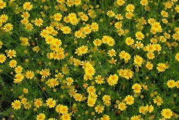 金毛菊花卉种子