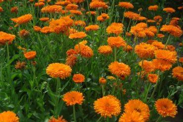 金盏菊花卉种子