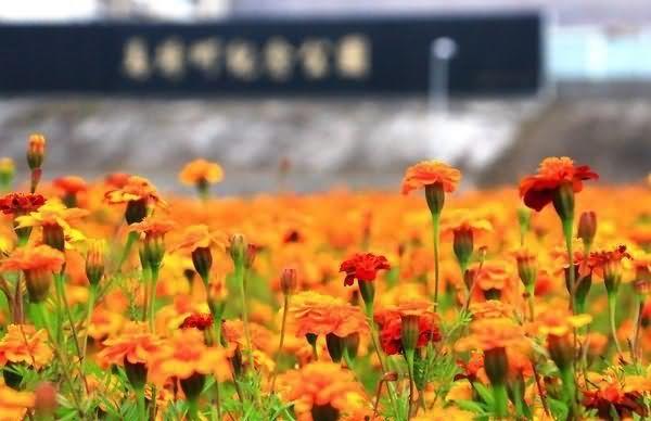 孔雀草花卉种子