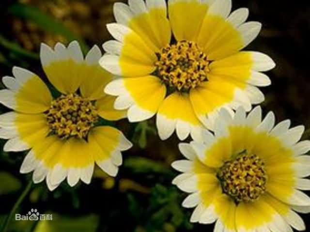 莱雅菊花卉种子