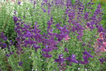 蓝萼鼠尾草花卉种子