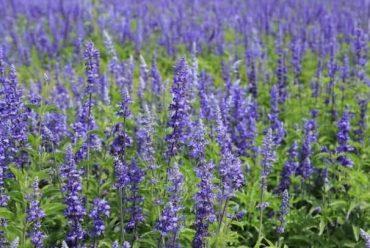 蓝花鼠尾草花卉种子