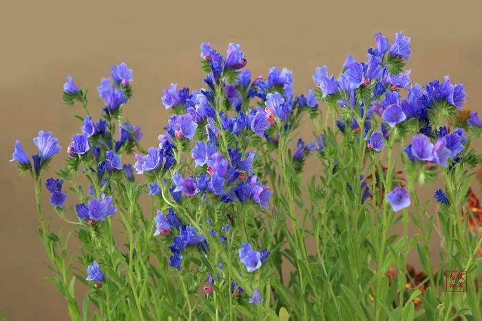 蓝蓟花卉种子