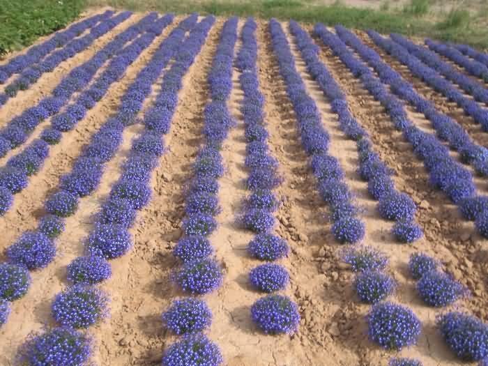 六倍利花卉种子