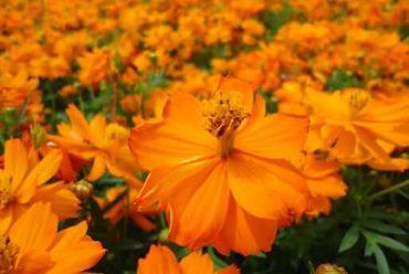 硫华菊花卉种子