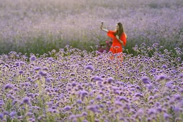 柳叶马鞭草花卉种子