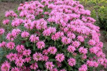 马薄荷(美国薄荷)花卉种子