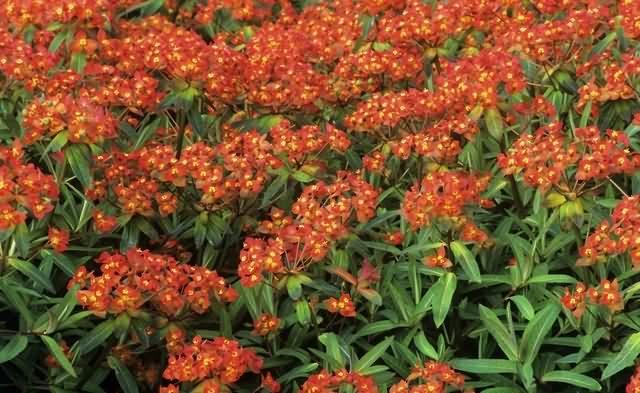 马利筋花卉种子