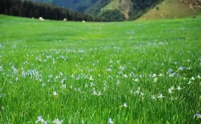 马蔺花卉种子