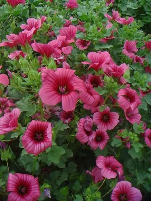 马落葵花卉种子