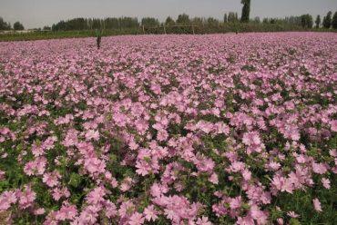 蔓锦葵花卉种子