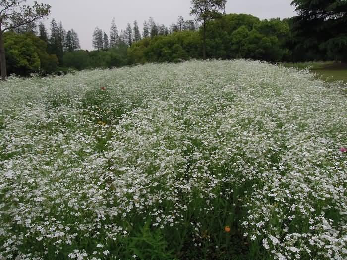 满天星花卉种子