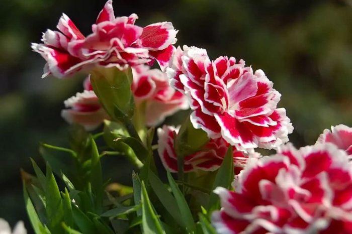 美国石竹花卉种子