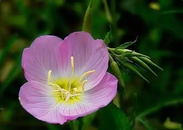 美丽月见草花卉种子
