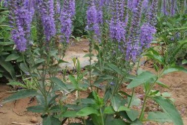 婆婆纳花卉种子