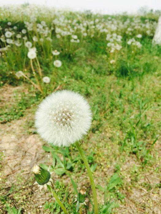 蒲公英花卉种子